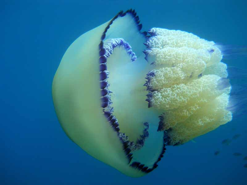 Одесские пляжи атакуют 10-килограммовые медузы-монстры