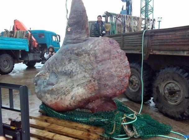 Гигантская луна-рыба прибыла в грузовике на Курилы. Потом что-то пошло не так