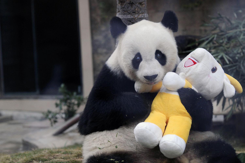 Траур: в Китае умерла старейшая панда Басы. Угадайте, куда отправят ее тело