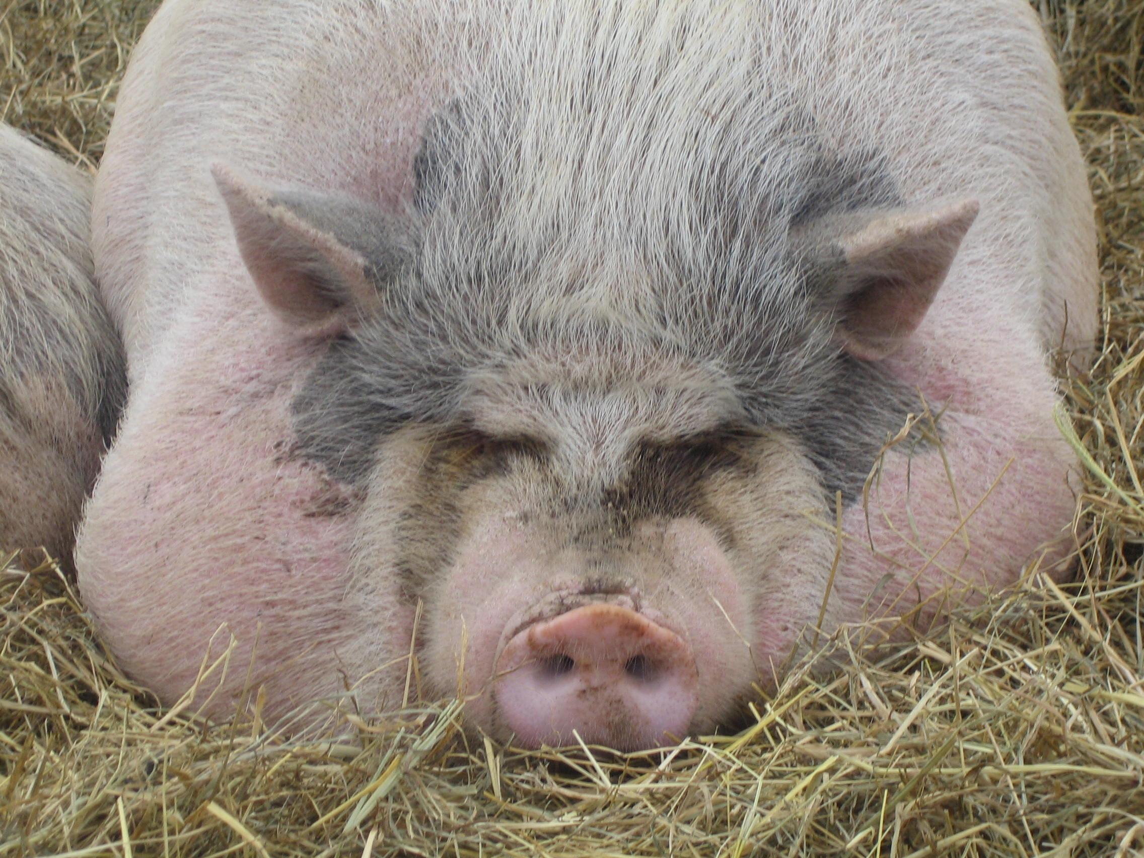 Прочитав эту новость, вы откажетесь от свинины навсегда