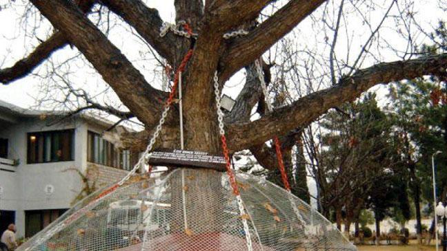 Дерево, которое арестовали: реальная история одного городка
