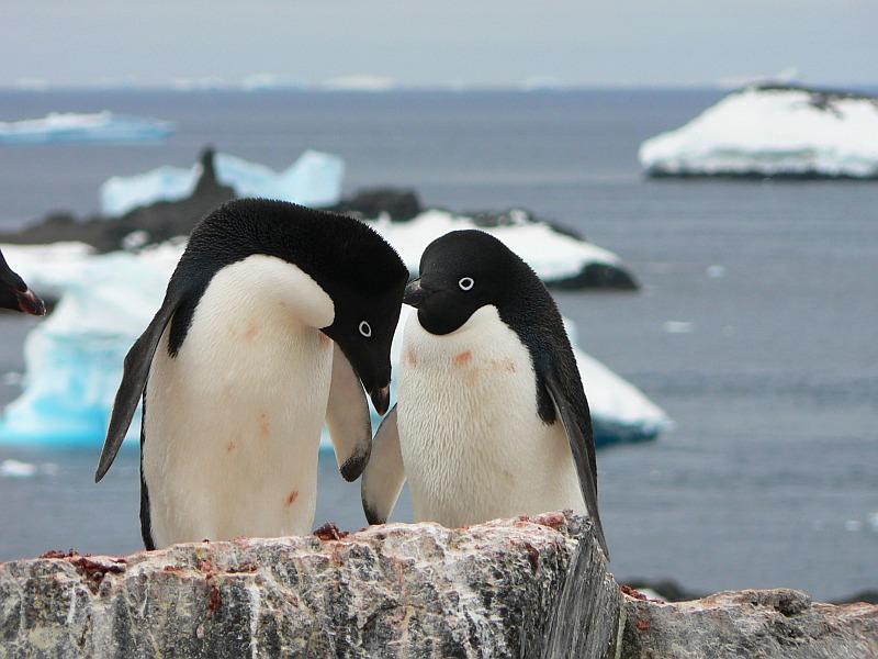 ШОК! Страшная новость про популяцию пингвинов Антарктиды